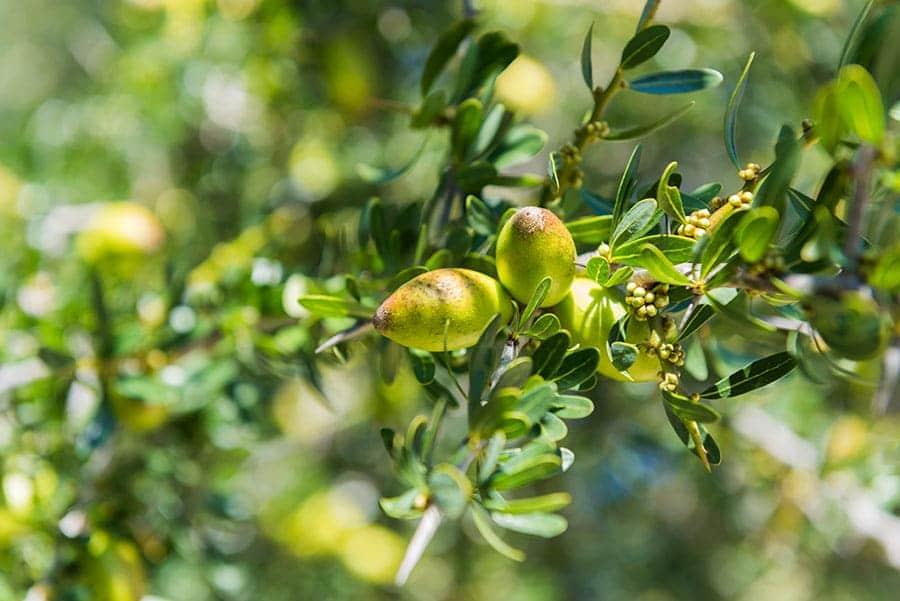 Арганово дърво в Мароканските гори.