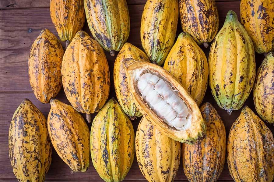 Набрани какаови плодове, готови за обработка и извличане на какаовите зърна. Подредени и селекетирани. Какаото.