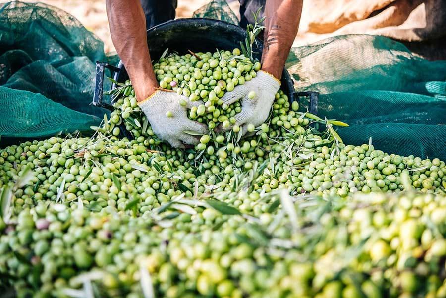Производство на зехтин. Маслини: ползи. Маслини, току-що набрани от маслинови дървета. Готови за обработка, преди предлагането им за консумация.